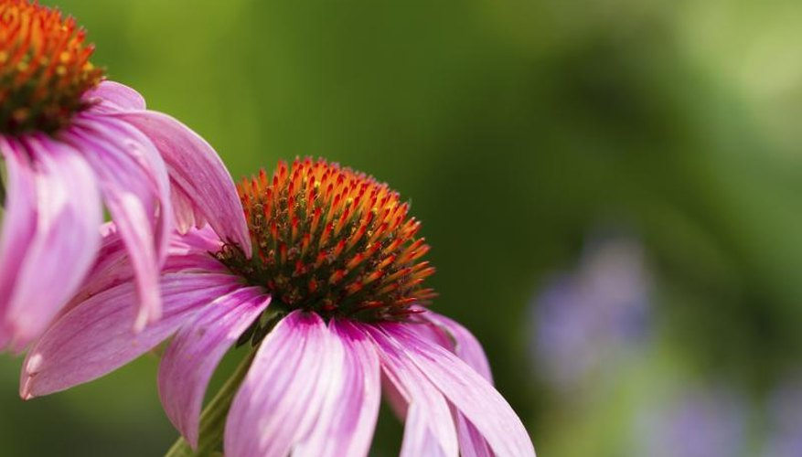 A purple coneflower growing in a garden.