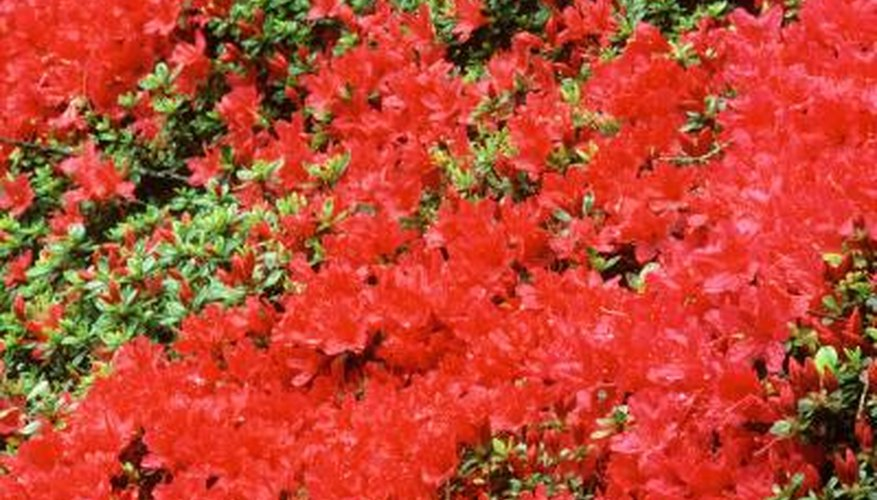 "As its name suggests, ""Red Ruffles"" produces ruffled, red flowers."
