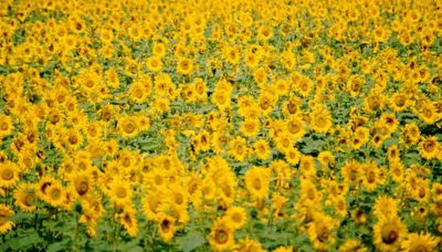 Sunflowers and their seeds can draw in doves for hunting.