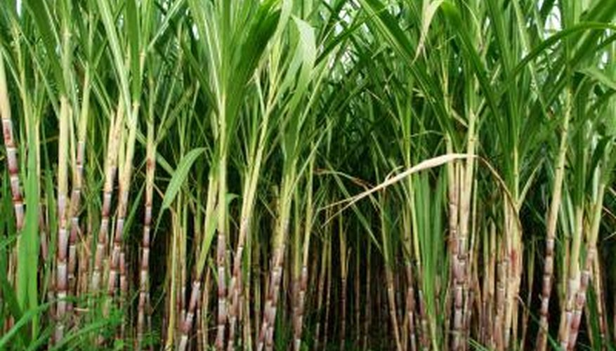 Tall, grassy sugar cane makes an attractive privacy screen.