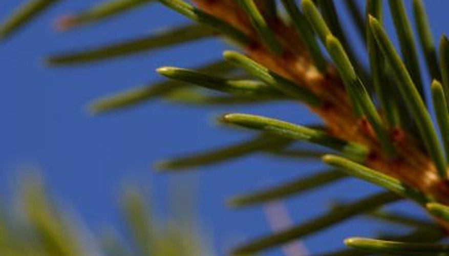 The needles of the blue spruce grow to 1 inch in length.