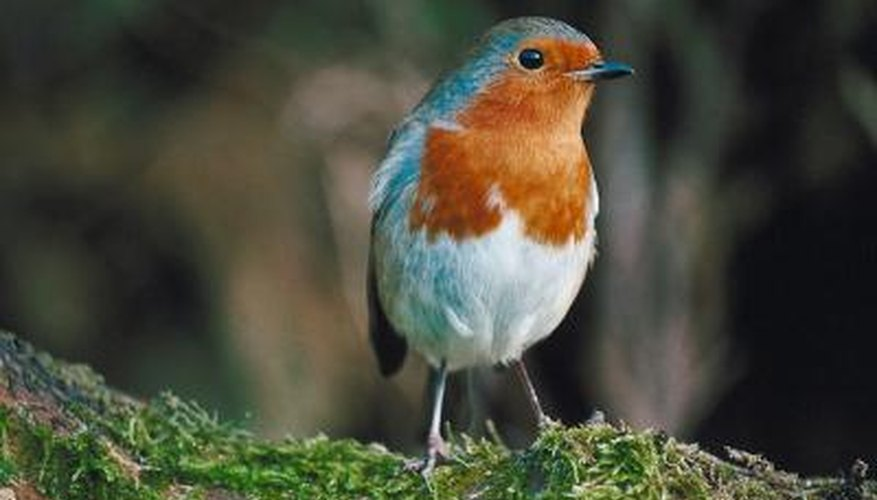 List of Small Songbirds