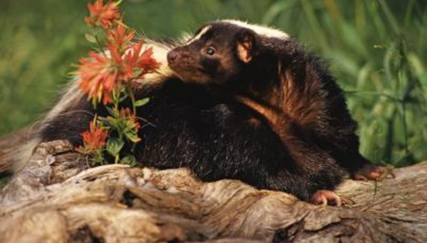 When provoked, skunks emit an unpleasant-smelling spray.