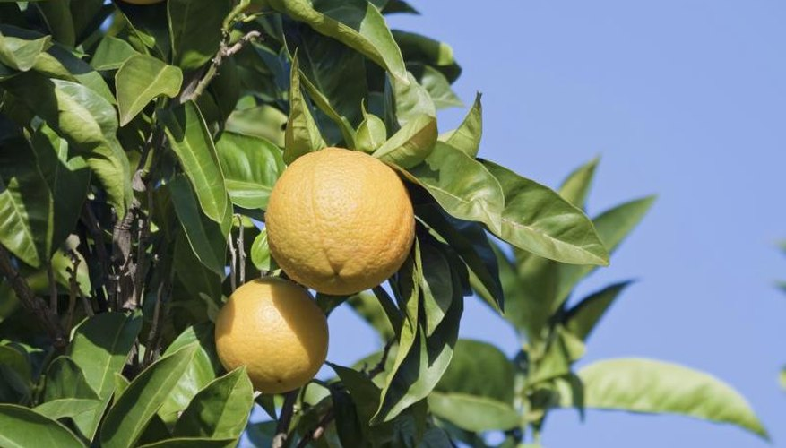 Oranges grow from a branch.