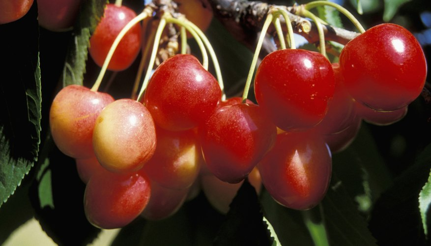 Healthy cherries depend on a regular spraying schedule.