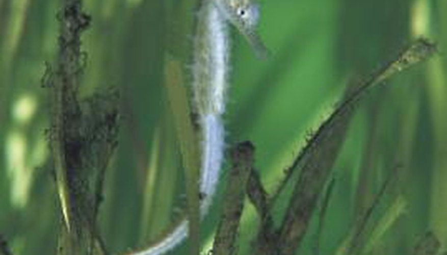 Seahorses tend to hide in sea grass.