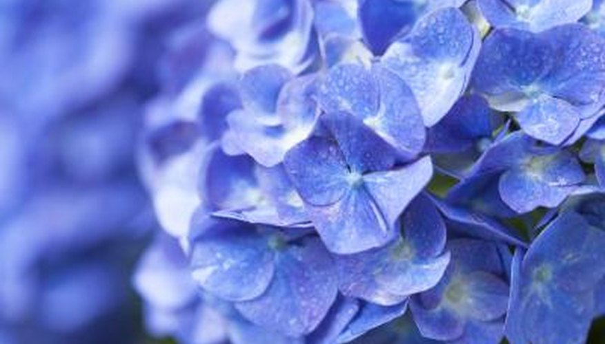 While aluminum gives big leaf hydrangeas their blue flowers, aluminum is also toxic, so keep pH in check.