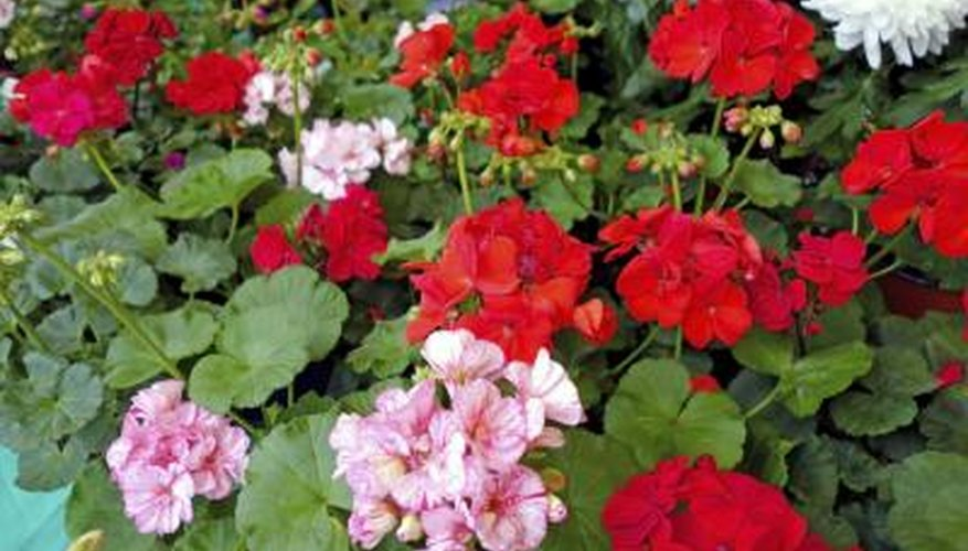 Healthy, pest-free geraniums have plenty of bight flowers and vibrant green leaves.