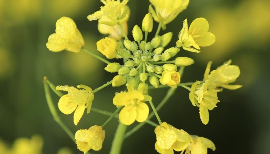 Mustard is a common pasture plant and cover crop.
