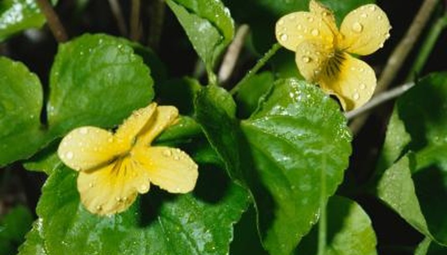 Wild violet weeds can have yellow, purple or blue flowers.