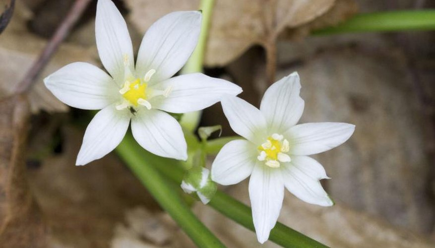 Wear gloves when handling star-of-Bethlehem as protection from its skin-irritating sap.
