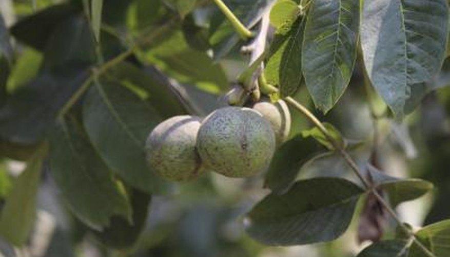 Butternut Tree Facts | Garden Guides
