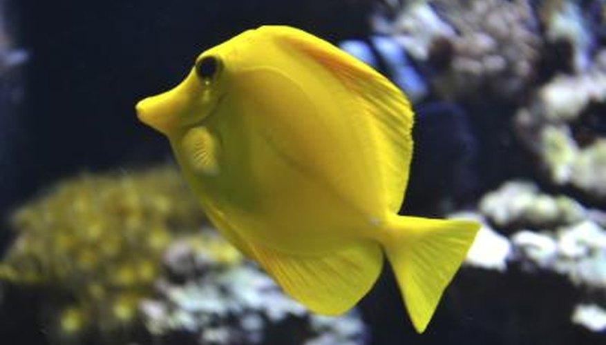 A yello tang fish swims near a coral reef.