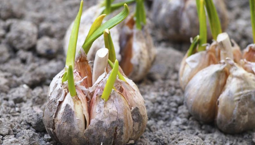 How To Plant Garlic In Georgia Garden Guides