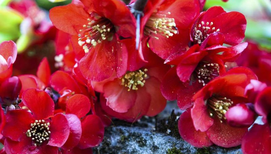 In warm winter climates, flowering quince can bloom in late wnter.
