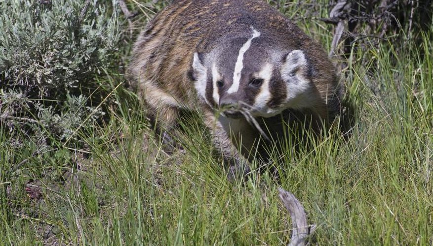 How to Skin a Badger