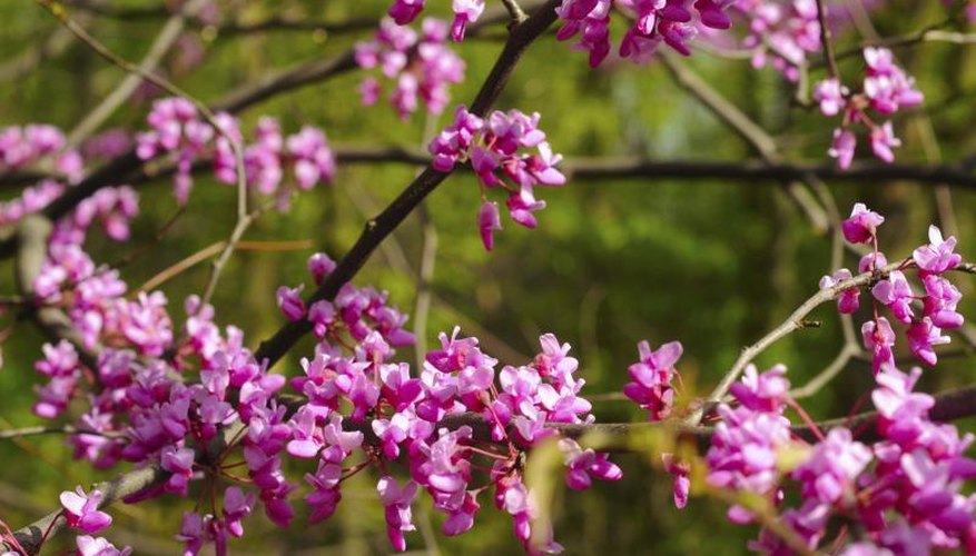 Redbud blooms are harbingers of spring throughout their native range.