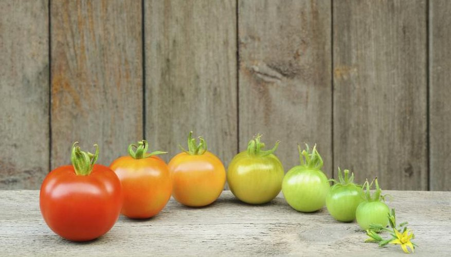 """Celebrity"" produces rounded tomatoes that turn red when ripe."