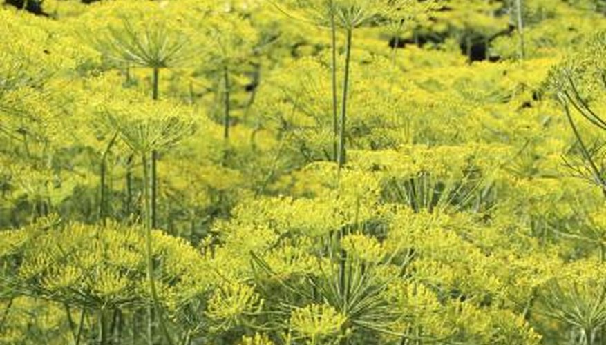 Field of fennel