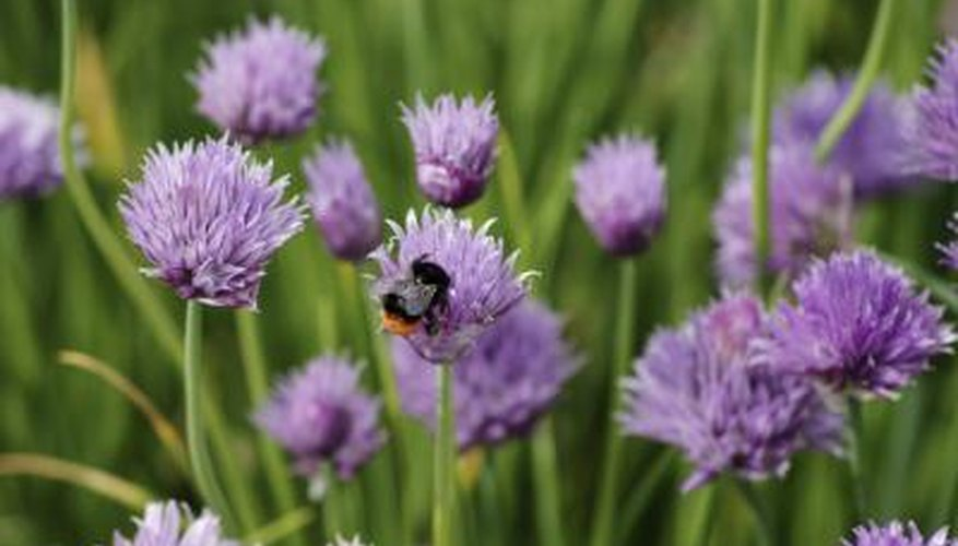 Chive flowers with bee on one