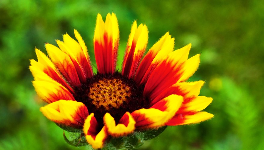 Blanket flower adds vivid color without taking up much space.