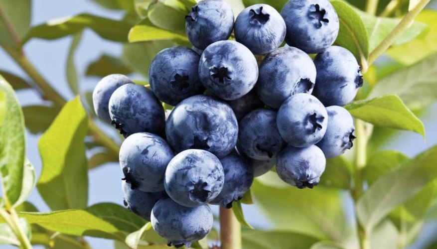 Ripe blueberries will pull free from the stem with very little effort.