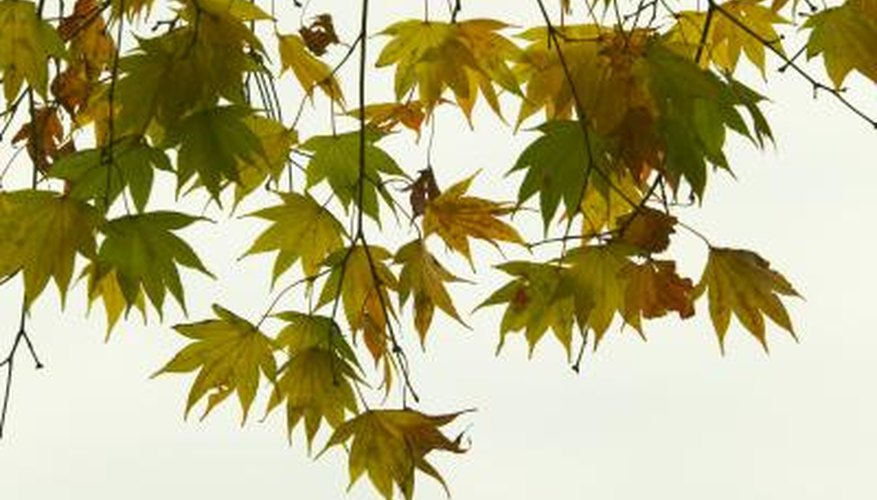 Areas of the country are experiencing early color and leaf drop of maples.