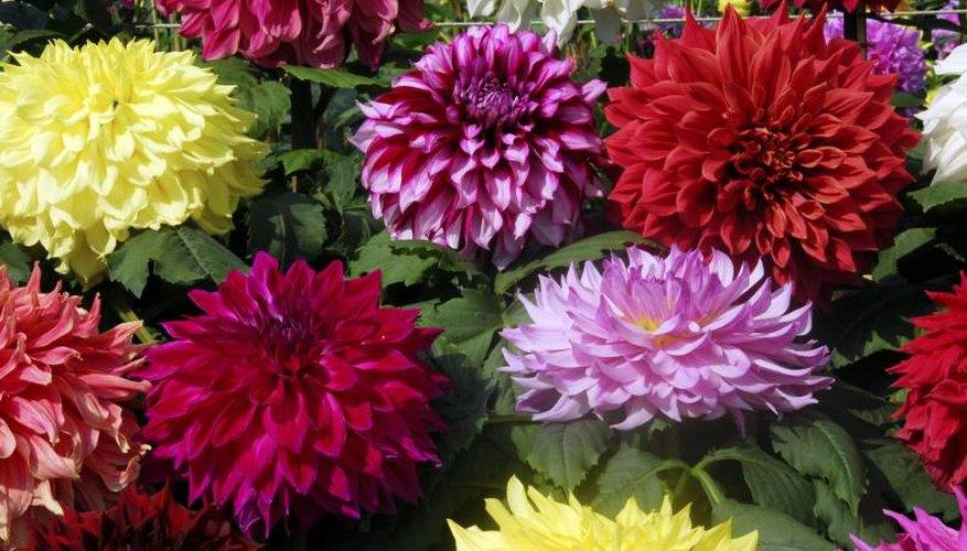 Dinner plate dahlias grow from tubers. & How to Grow Dinner Plate Dahlias | Garden Guides