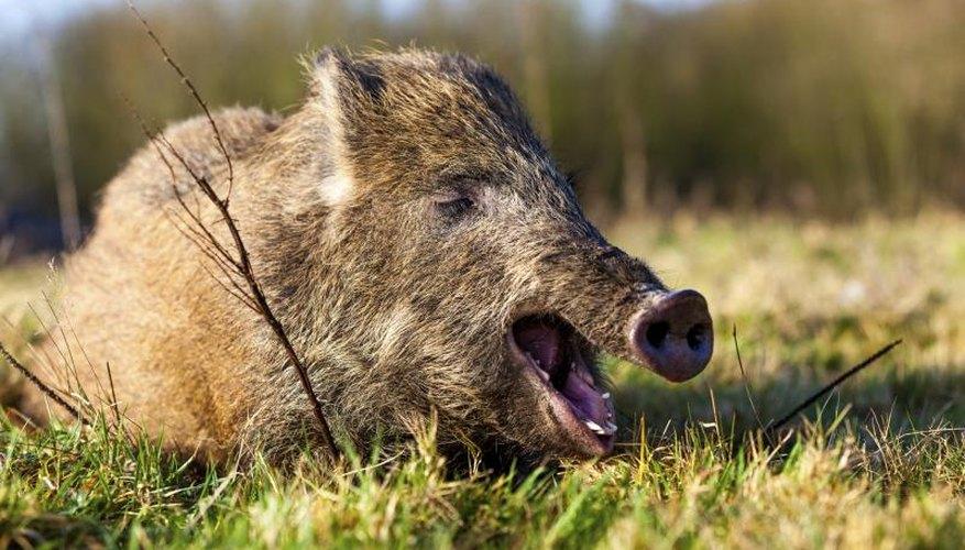 Hog Hunting Regulations in Texas
