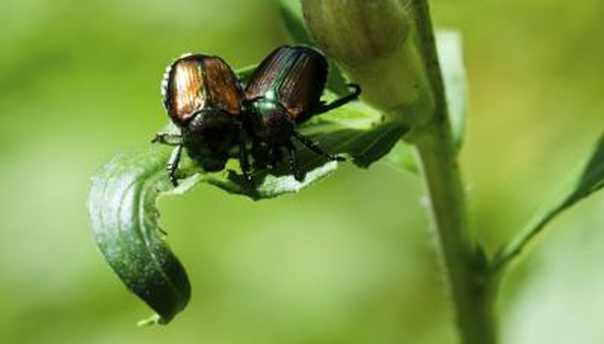 Japanese beetles are mostly a problem in the eastern part of the U.S.