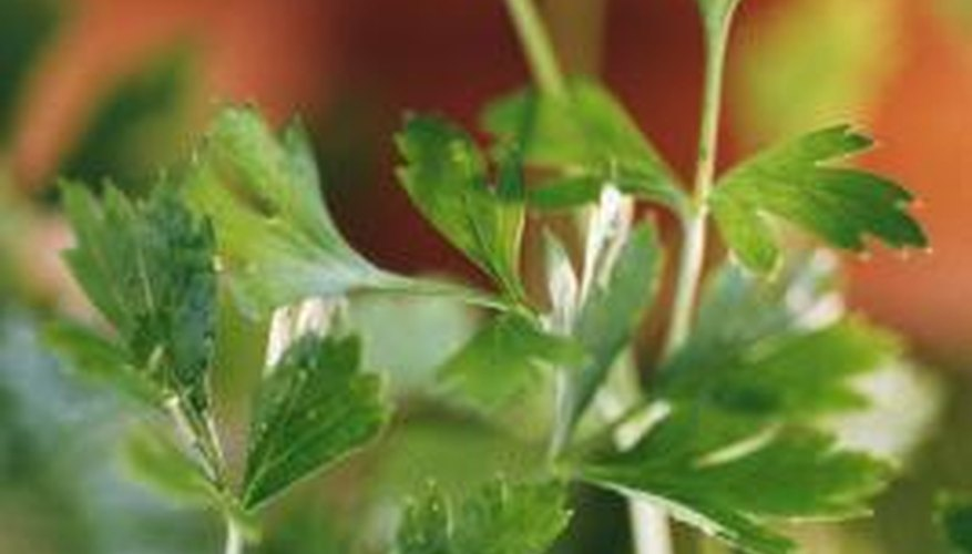 Parsley is a biennial herb that enjoys cool weather.