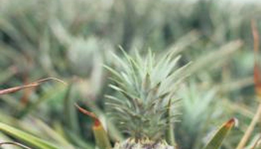 Plant enzymes can be extracted from pineapple stems.
