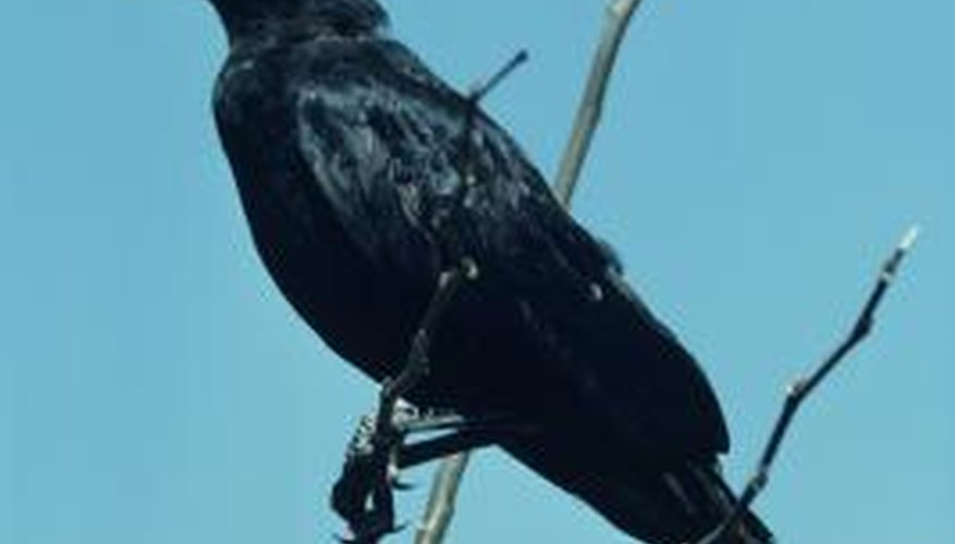 The crow is an intelligent bird that loves to eat hen eggs.
