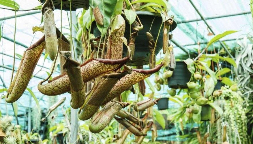 A pitcher plant growing from a hanging pot in a greenhouse.