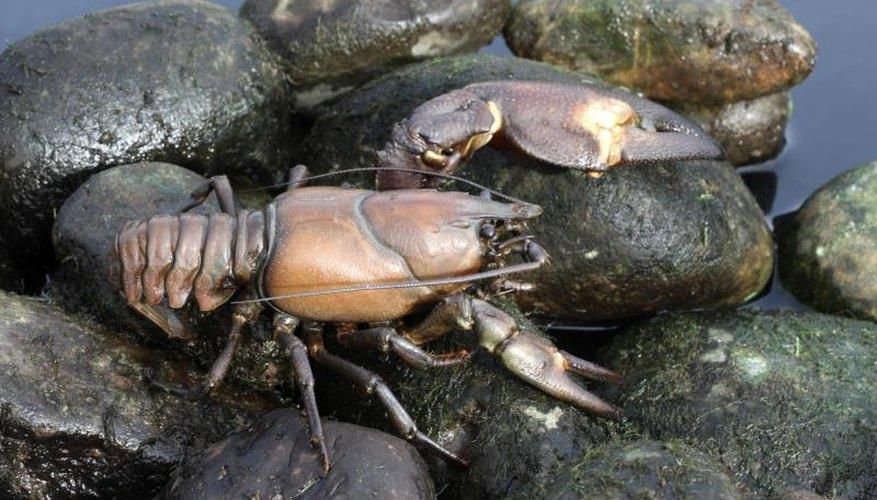 Crayfish Fishing in Washington