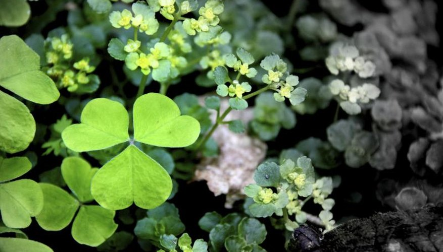Oxalis family members sometimes feature three-lobed leaves.