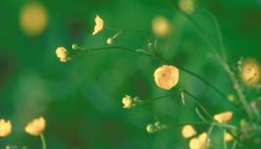 Buttercups, members of the Ranunculus genus, are dicots.Buttercups, members of the Ranunculus genus, are dicots.