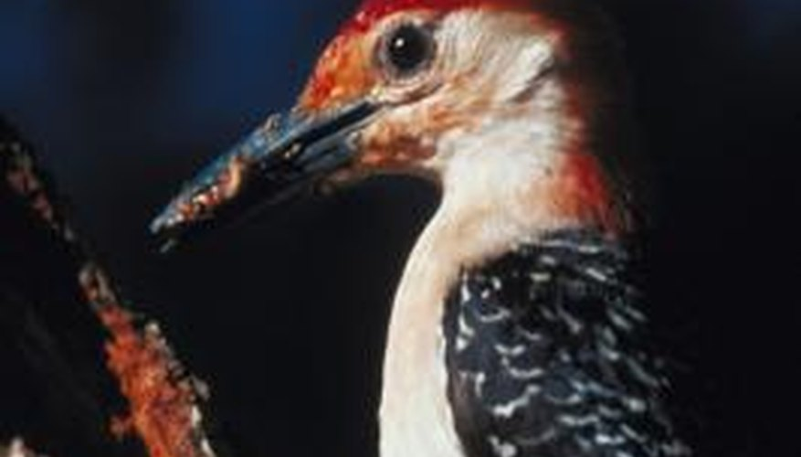 Woodpeckers peck on trees to find insects or make nests.