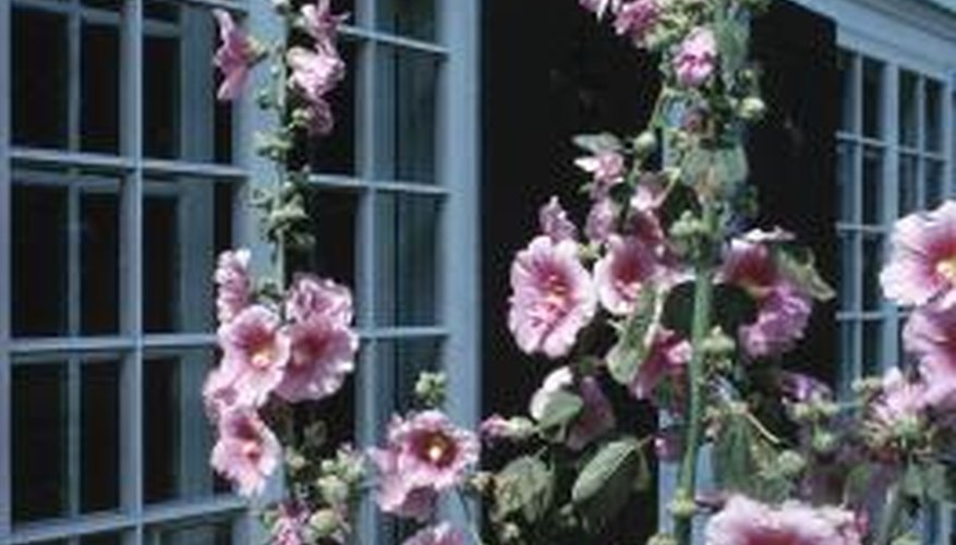 Miniature hollyhocks are close cousins of these full-sized hollyhocks.