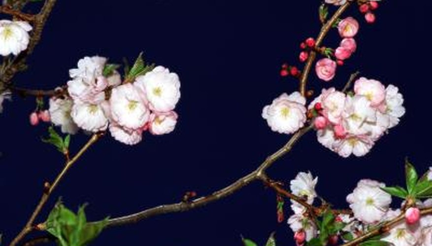 One species of crabapple tree does not produce fruit.