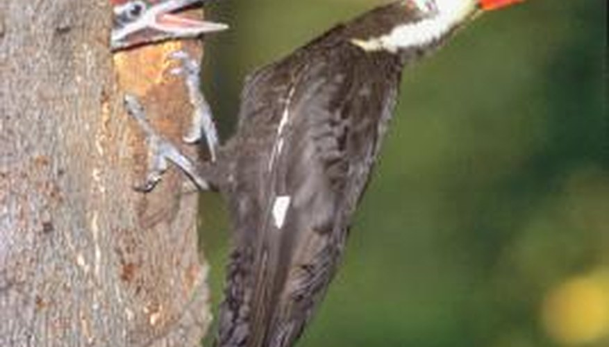 Woodpeckers are cavity-nesters.