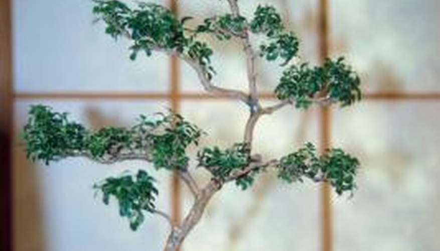 Serissa bonsai plants can be shaped as they grow.