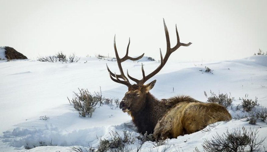 How to Tell the Age of a Buck Elk