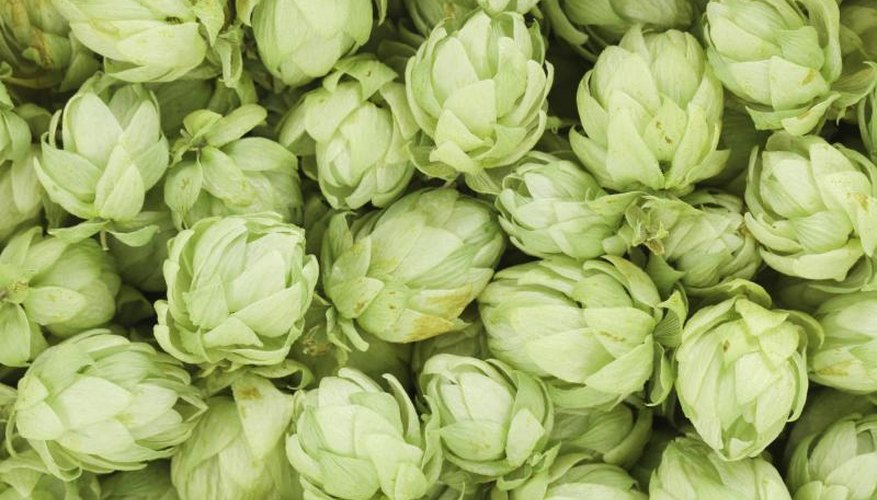 A close-up of green hops.