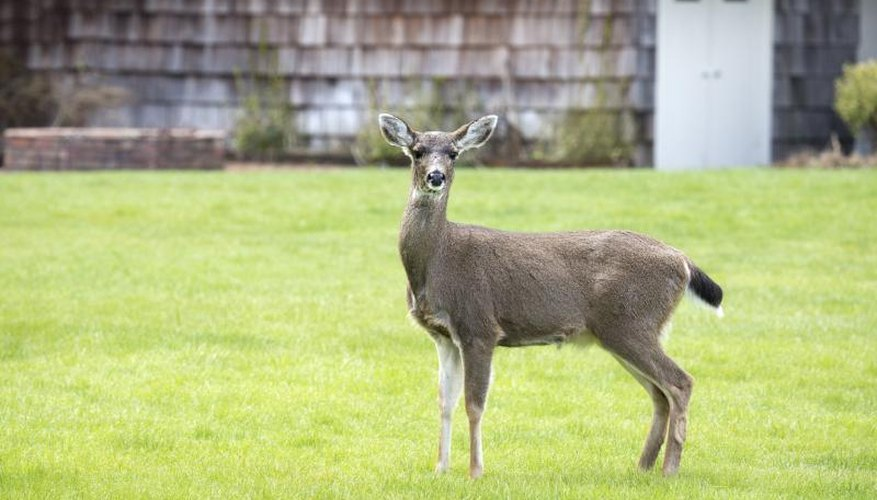 A doe stands in the yard of a house.
