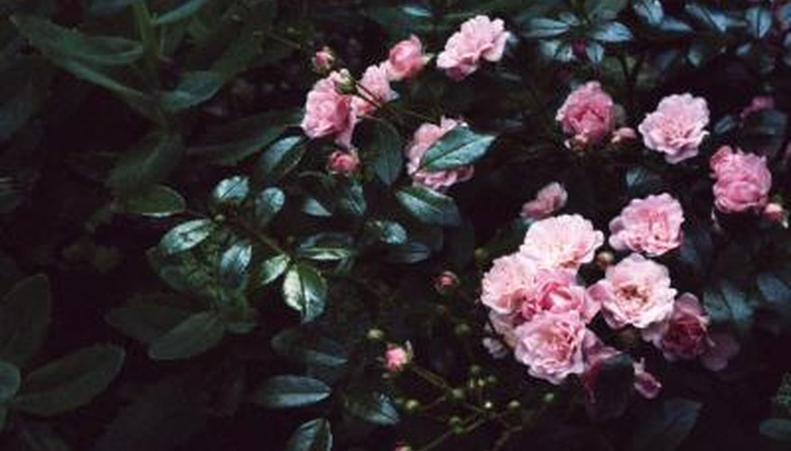 Prune shrub roses less severely than hybrid teas.
