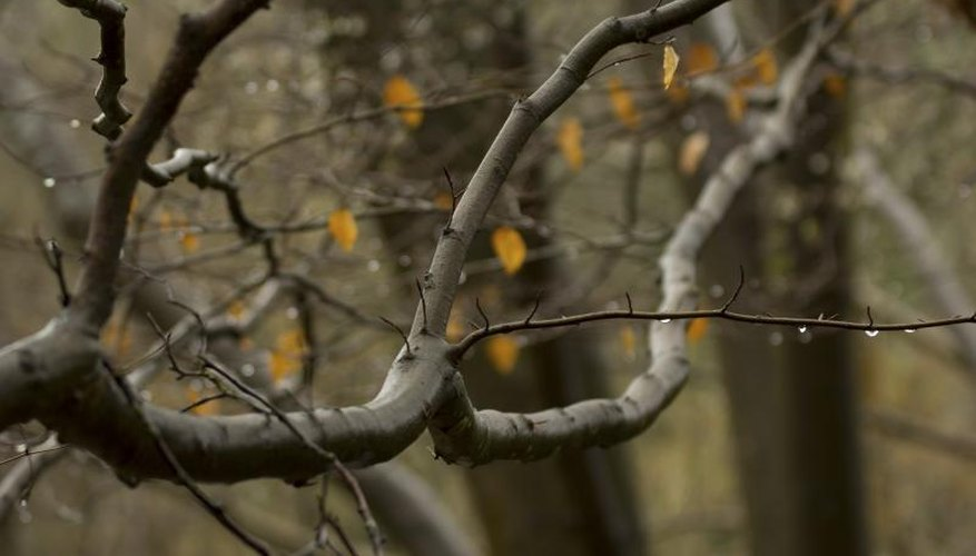 A close-up of an alder tree branch in the autumn woods.