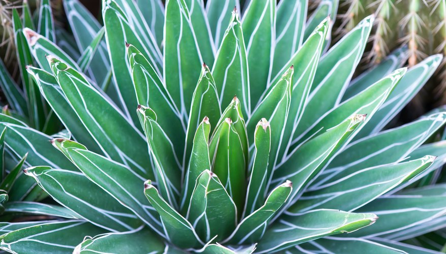 The agave is often planted in Mexican-style gardens.