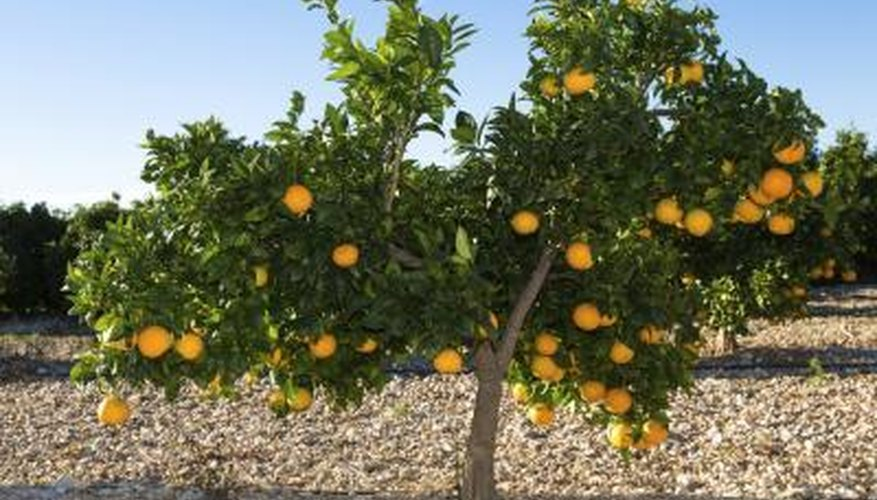 Valencia (Citrus sinensis 'Valencia') is grown commercially in USDA zones 9 to 11.