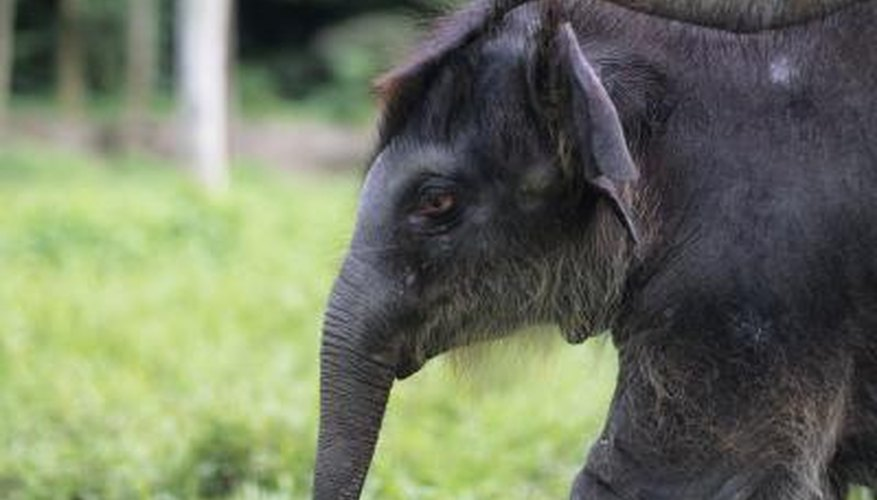 A infant asian elephant.